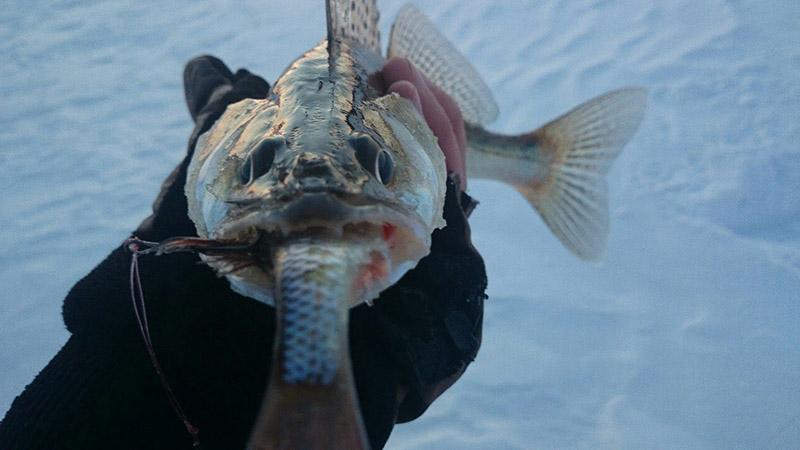 Ловля судака зимой: Оснастка, наживка, прикормка