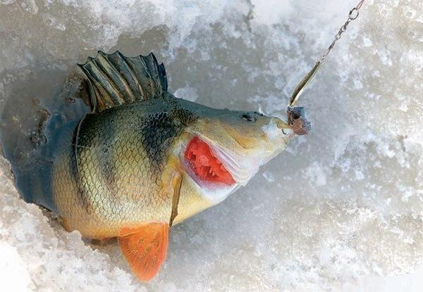 Зимняя рыбалка на окуня на блесну